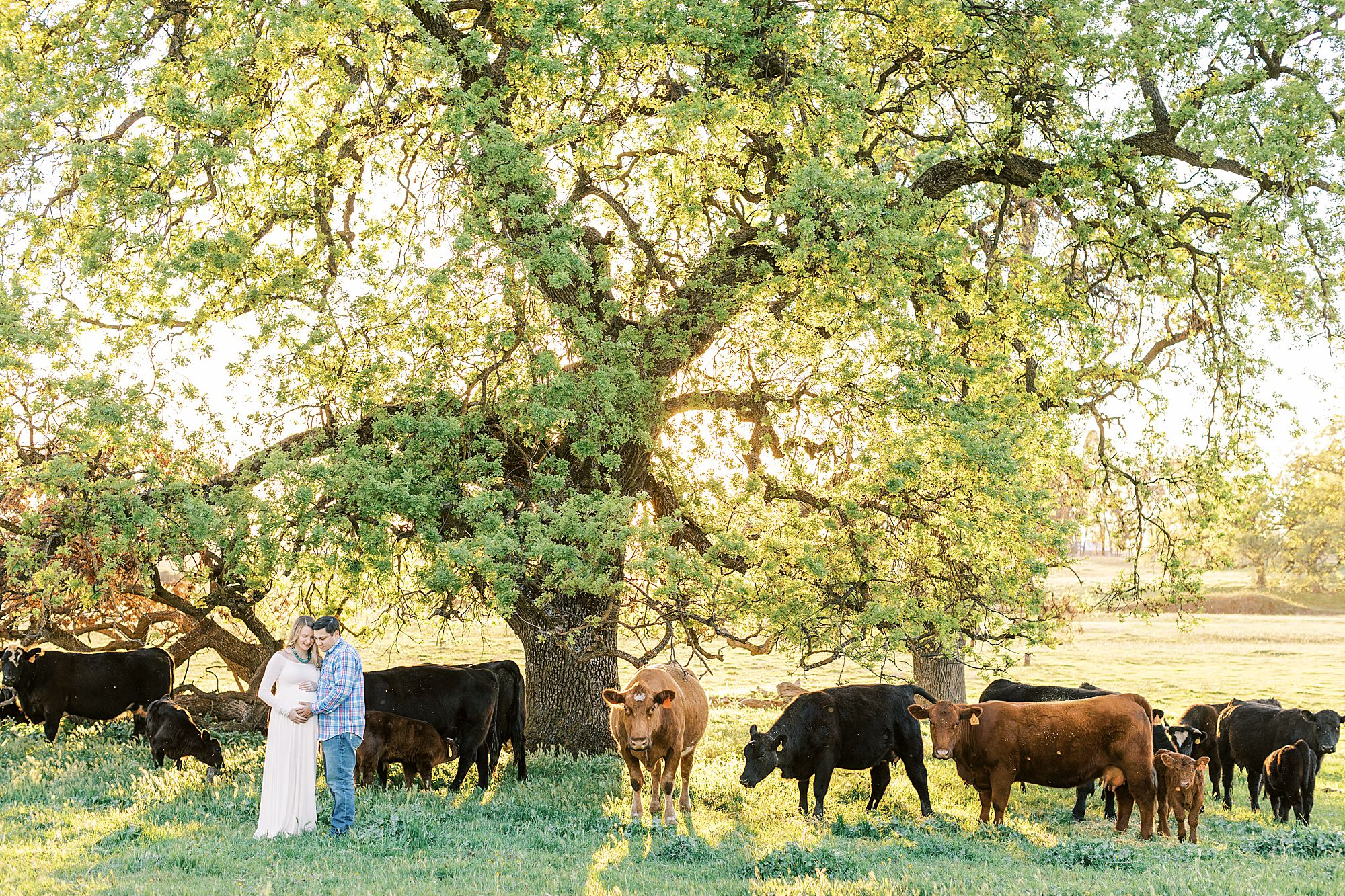 Sheridan Maternity Session - Lexie and Nick - Sacramento Maternity Photos by Ashley Baumgartner - Farmland, 4H Maternity with Cows_0008.jpg
