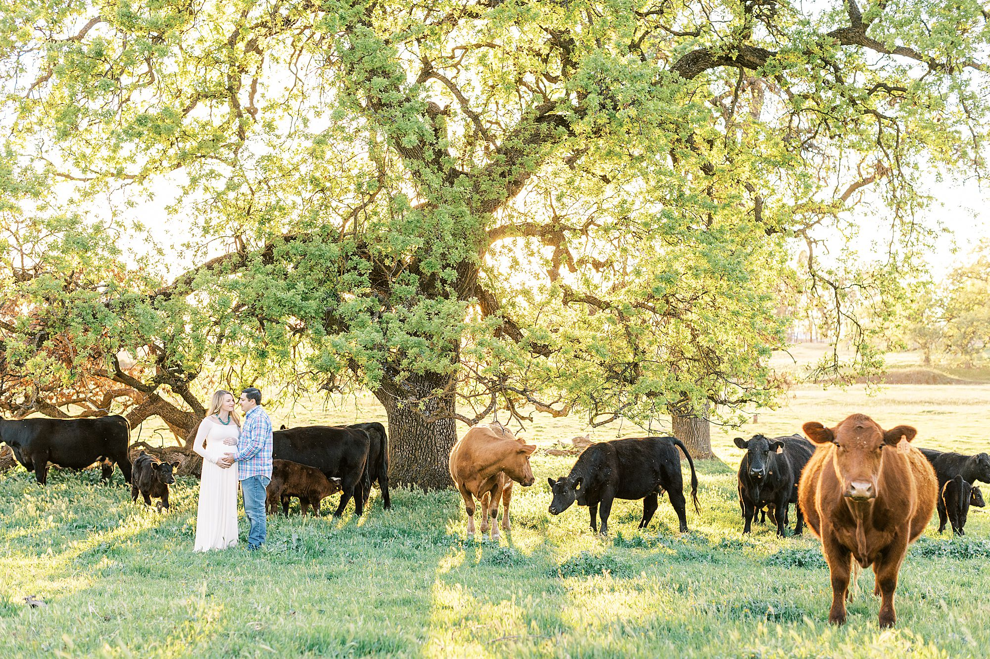 Sheridan Maternity Session - Lexie and Nick - Sacramento Maternity Photos by Ashley Baumgartner - Farmland, 4H Maternity with Cows_0017.jpg